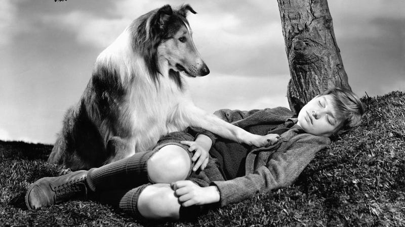 A concerned Lassie places a paw on a sleeping Joe Carraclough (Roddy McDowall) in a publicity still for Lassie Come Home. (Photo: John Springer Collection/CORBIS/Corbis/Getty Images)