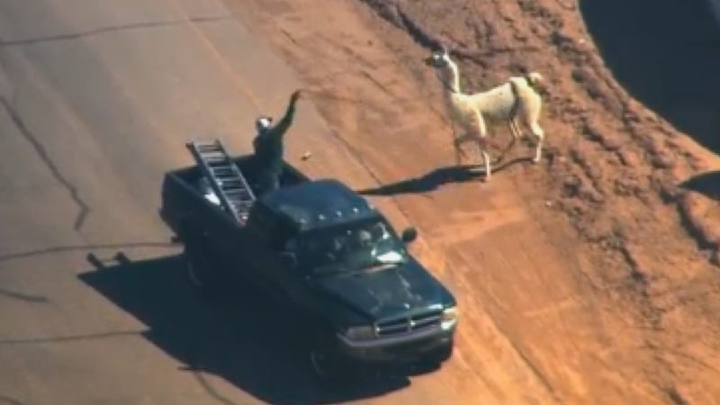Illustration for article titled Loose Llama Lassoed From A Moving Pickup Truck, Already An Ad