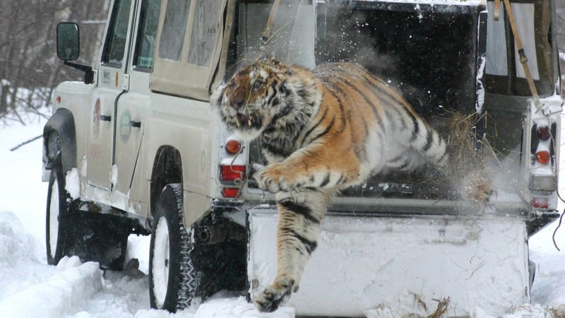 Illustration for article titled Yes, that's a tiger jumping out of a Land Rover