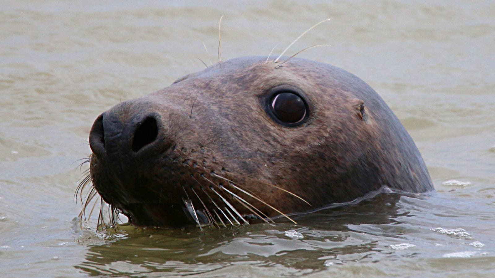 First Evidence that Microplastics Travel Up the Food Chain and Into Seal Bellies