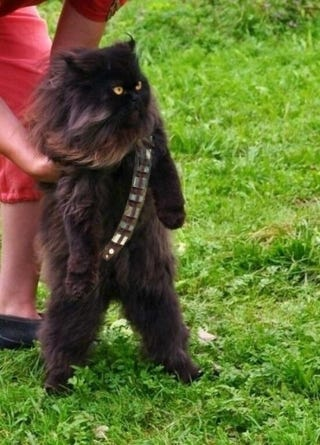 Illustration for article titled Mewbacca the Wookiee Cat proves today is a great day for cat cosplay