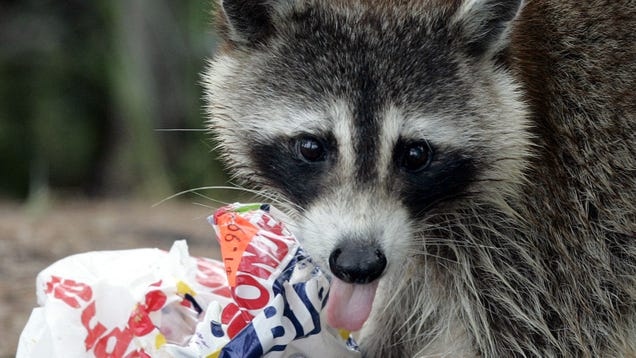 Health Officials Warn New Yorkers to Vaccinate Their Pets as Rabid Raccoons Appear in Manhattan