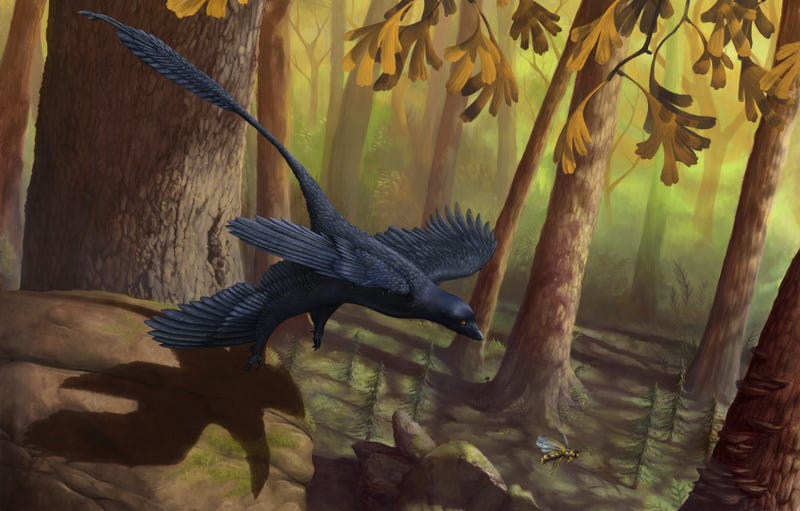 Illustration for article titled How did this four-winged Microraptor fly?