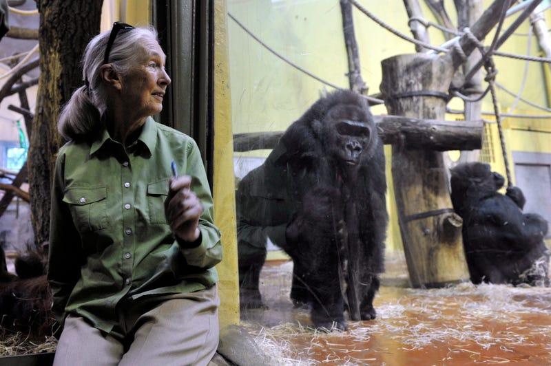Illustration for article titled Jézusom! Ezt élte túl Jane Goodall az állatkertben