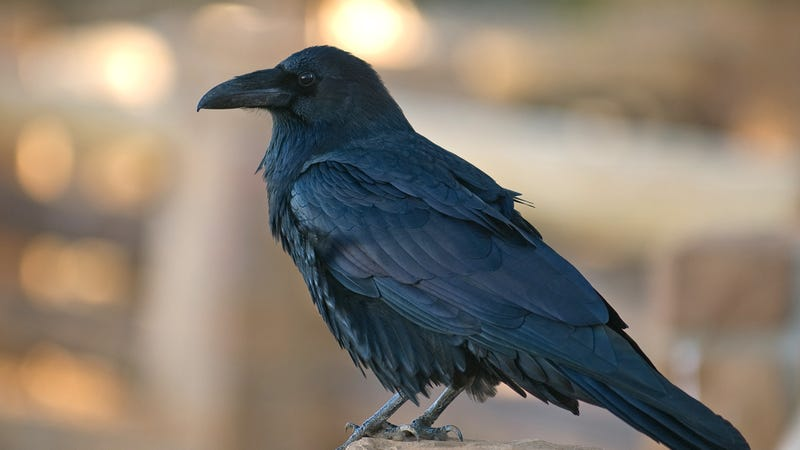 Illustration for article titled ClickHole Is Experimenting With Non-Viral Content That Nobody Wants To Click On, So Here Are Some Pictures Of Unremarkable Crows