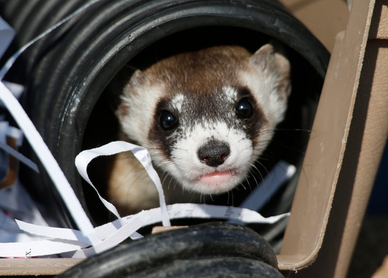 Illustration for article titled Adorable Black-Footed Ferret Sure Does Like the Taste of Freedom