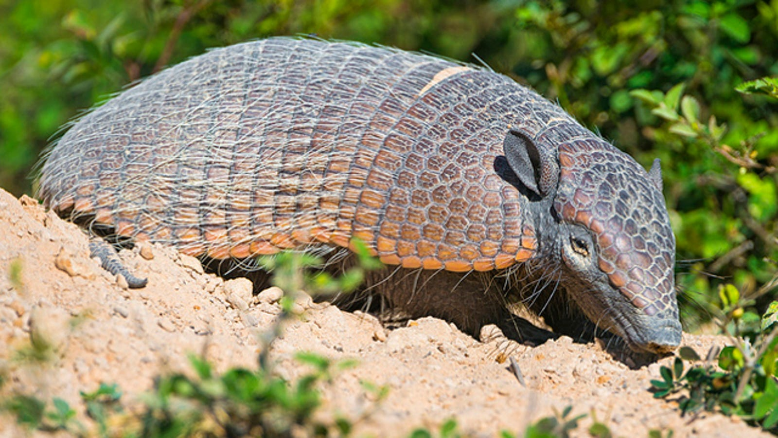 armadillos  leprosy  and    you