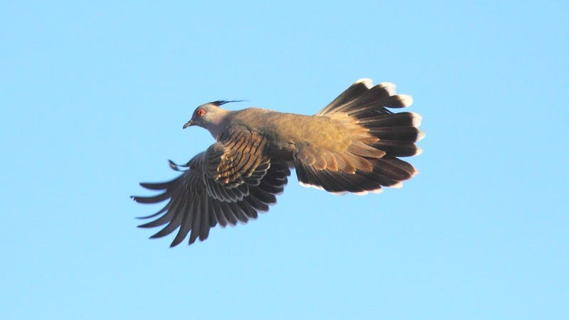 A crested pigeon in flight. Primary feathers are spread and the narrow eighth primary is visible. (Image: Geoffrey Dabb)