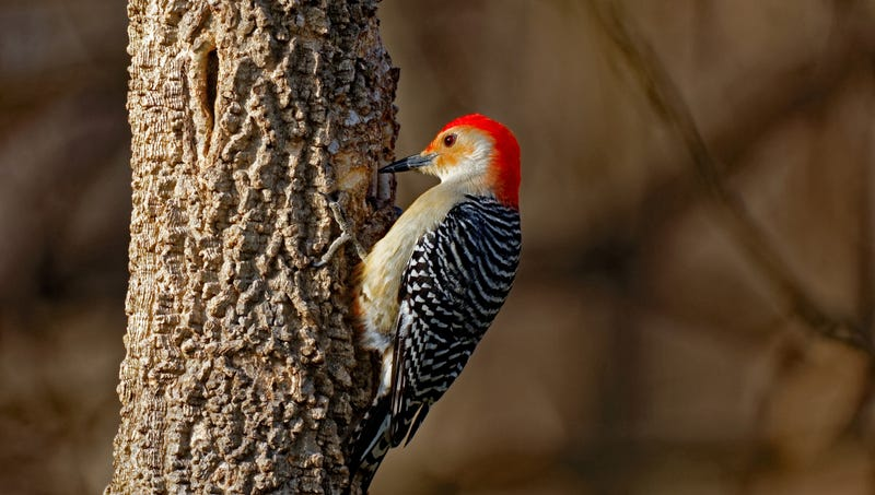 Illustration for article titled Nature's Perfect Design: Scientists Believe That Studying Woodpeckers Could Totally Revolutionize The Way We Bash Trees Apart With Our Heads To Find Bugs
