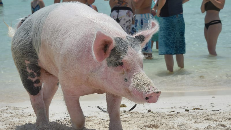 Illustration for article titled Pig Beach Is Dead