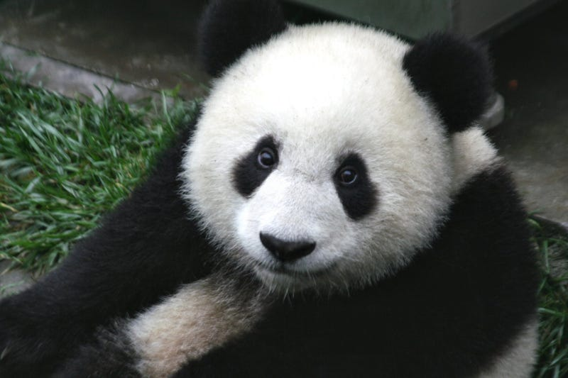 Illustration for article titled PANDAS ARE FULL OF LIES