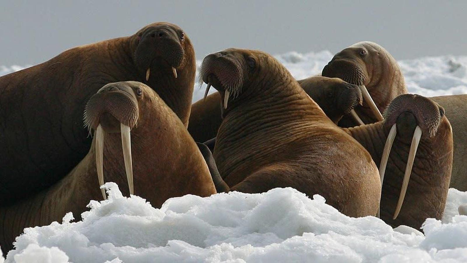 Walrus Sinks Russian Naval Boat During Arctic Expedition