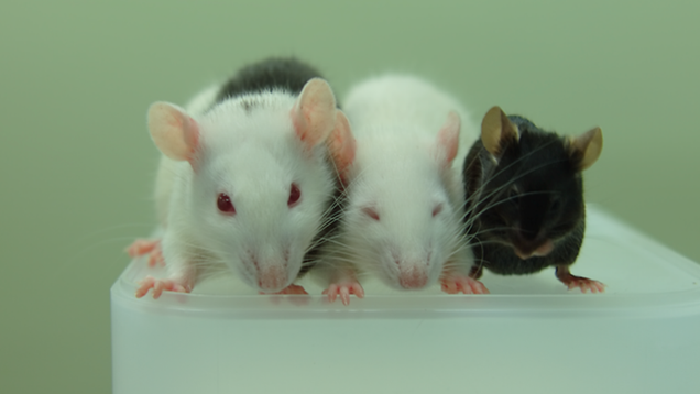 From left to right: Rat-mouse chimera, rat, and mouse (Image: Tomoyuki Yamaguchi)
