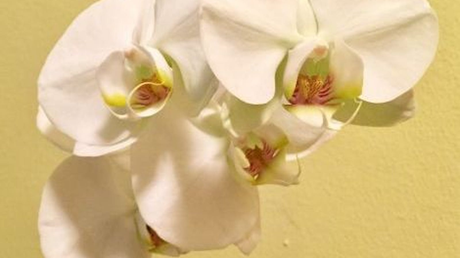How To Keep A Trader Joes Orchid Aliveor Get It To Bloom Again