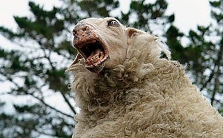 Illustration for article titled In Safety Study, Sheep on Meth Are Shocked With Tasers