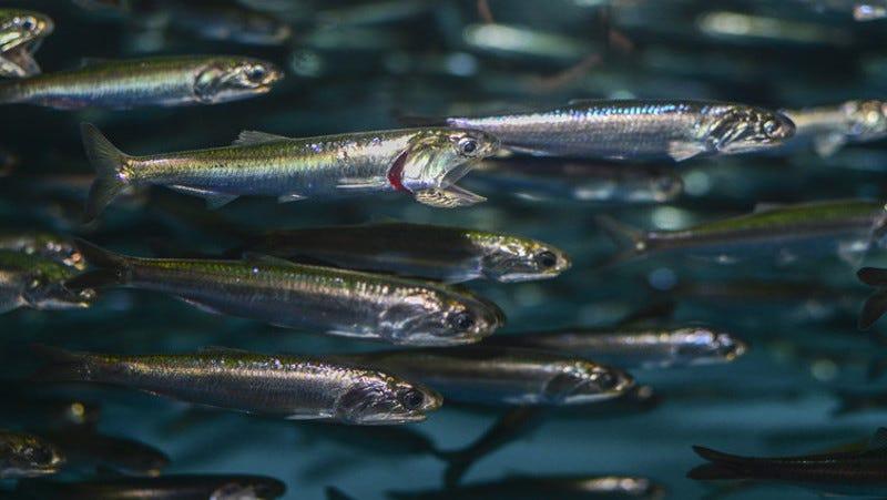 Schooling Northern anchovies. (Image: Matthew Savoca)