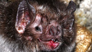 Illustration for article titled Vampire Bats Bond By Sharing Your Blood