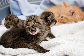 Illustration for article titled Housecat Nurses Litter Of Wild Bobcats