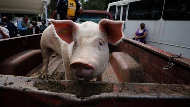Ebola Species Thought to Be Harmless to Humans Can Sicken Pigs, Raising Alarm Bells