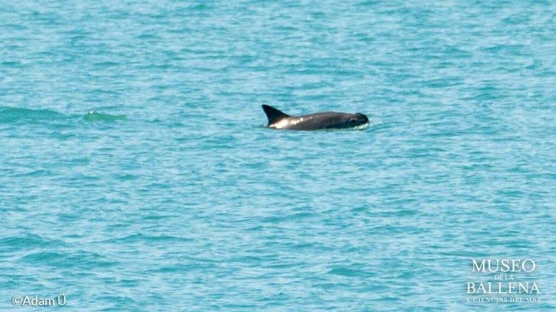 A critically endangered vaquita porpoise.