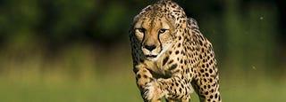 Illustration for article titled Record-Setting Cheetah Passes Away at Cincinnati Zoo
