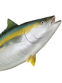 A Yellowfin Tuna
