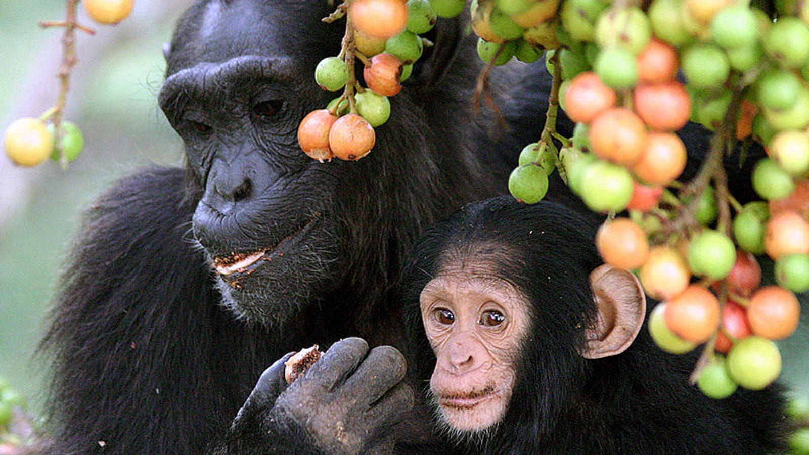 Video Footage Captures Mommy Chimp Caring For Disabled Baby In the Wild