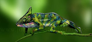 Illustration for article titled This chameleon is actually an amazing bodypainting