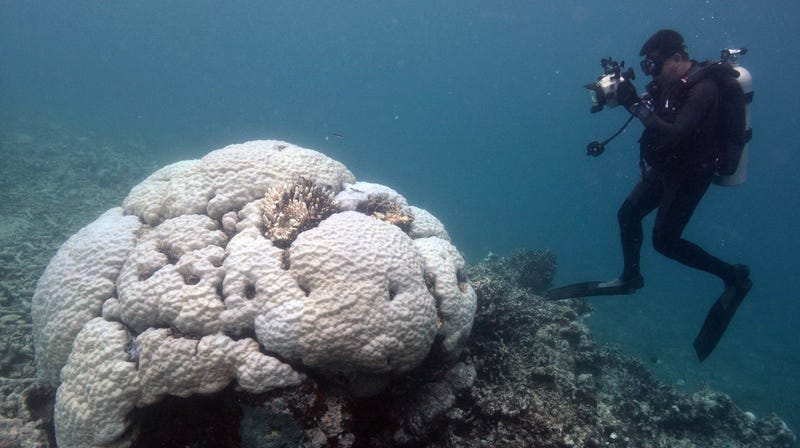 A Porites coral colony on the Great Barrier Reef .