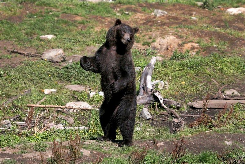 Illustration for article titled Medve zavarta meg a szülinapi zsúrt