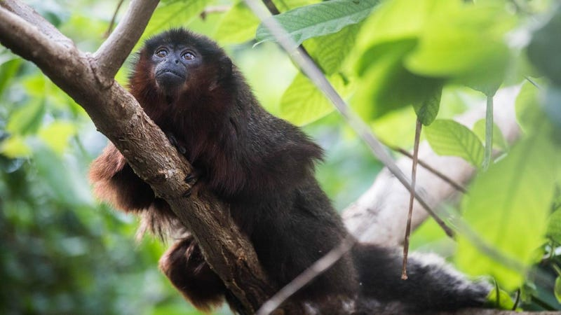 South America's titi monkey (pictured) is a close relative of the extinct Xenothrix monkey, new research suggests.