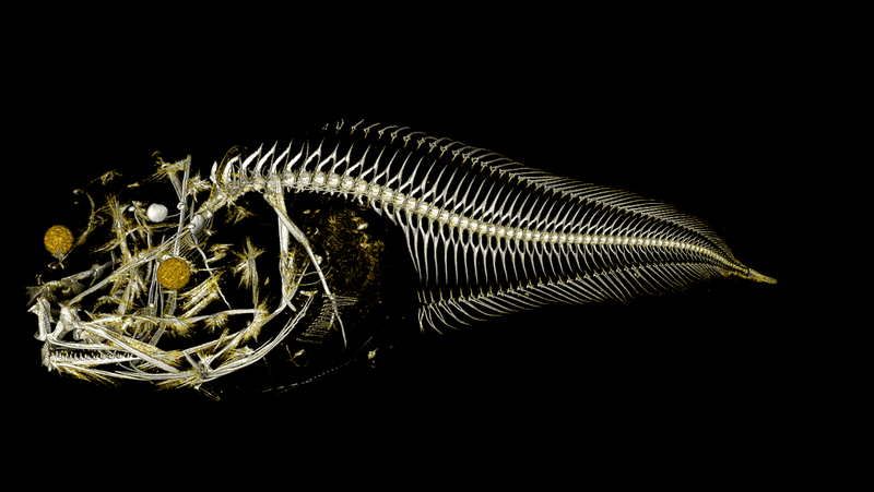 A CT scan of a snailfish specimen captured during a recent expedition to the Atacama Trench.