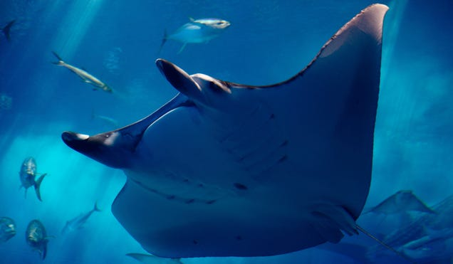 Watch Out Humans, Manta Rays May Be Self-Aware