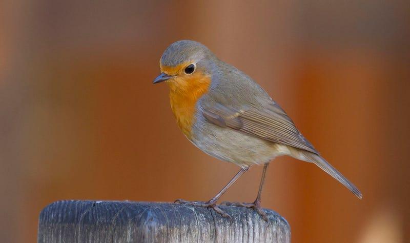 """Illustration for article titled Investigadores descubren qué hace posible que los pájaros puedan """"ver"""" los campos magnéticos de la Tierra"""