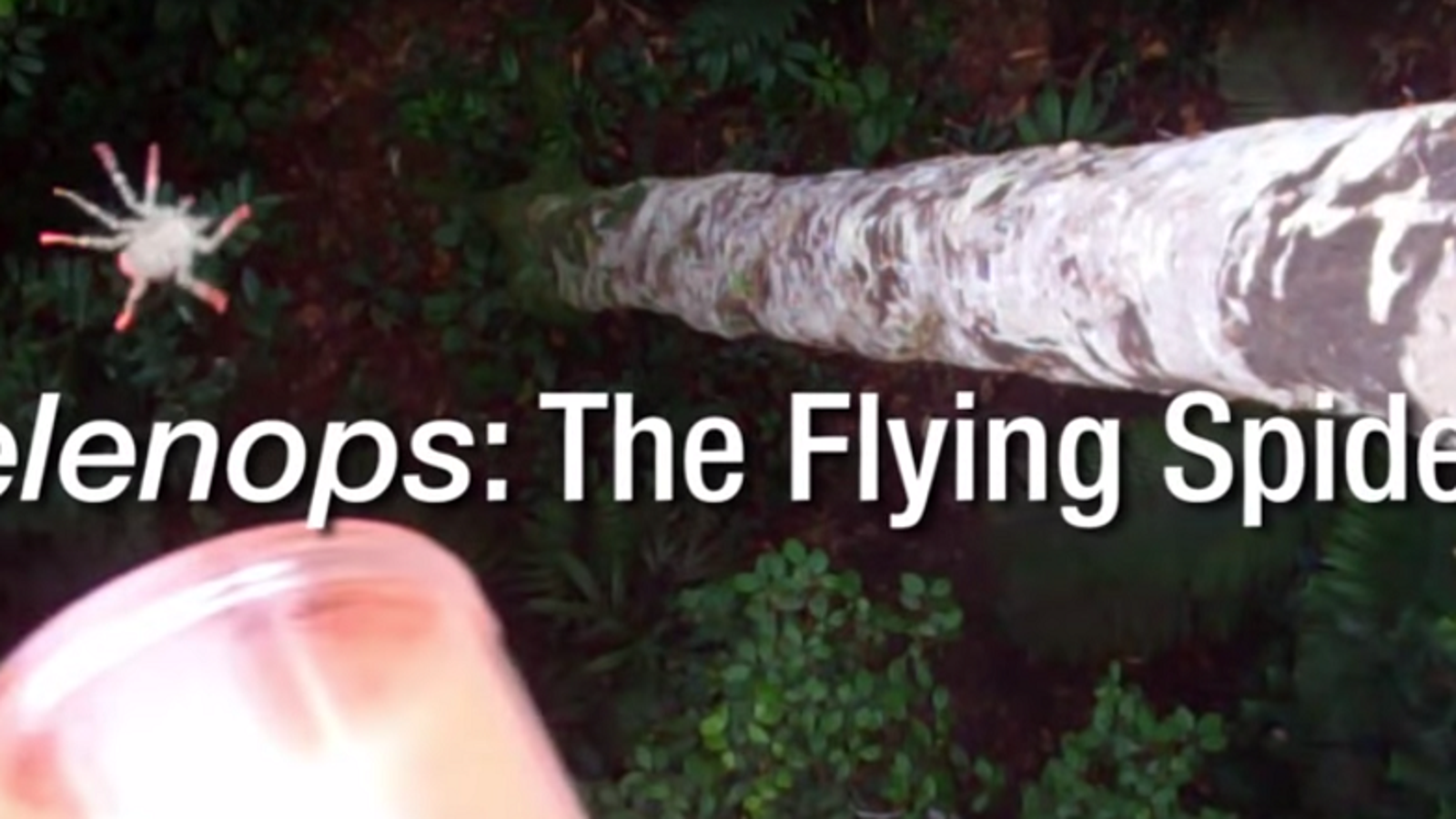 Watch Biologists Drop Flying Spiders Out of Trees for Science