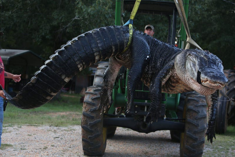 Illustration for article titled Giant Alligator Literally Broke The Scale When Biologists Weighed It