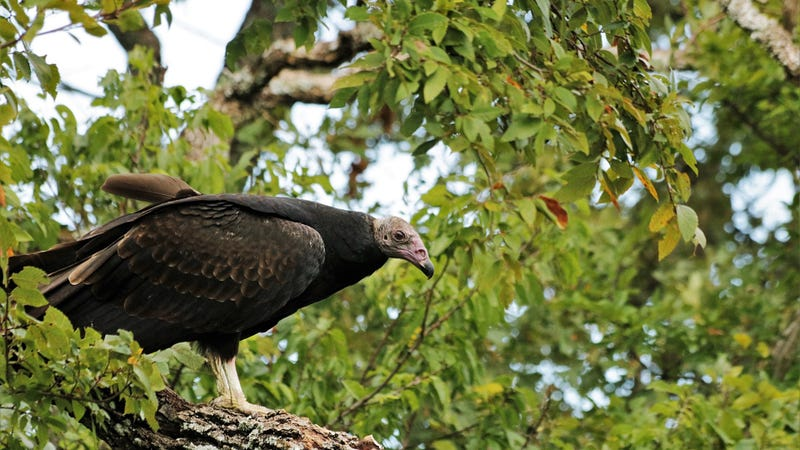 Turkey vulture (Cathartes aura)—one of the two vulture species observed in the study. Photo Courtesy: Public domain