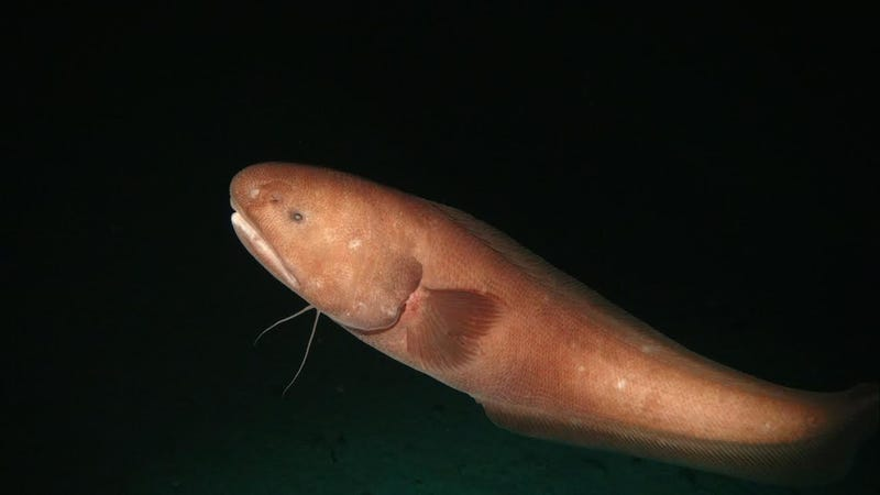 An unidentified fish from the family Ophidiidae discovered in a recent survey of the Clarion Clipperton Zone. Image: Diva Amon and Craig Smith, University of Hawai'i at Mānoa