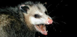 Illustration for article titled A North Carolina town drops a possum at midnight on New Year's Eve
