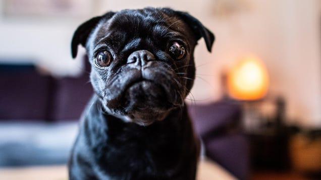 Feeding Dogs  Human-Grade  Food Might Make Them Poop Less