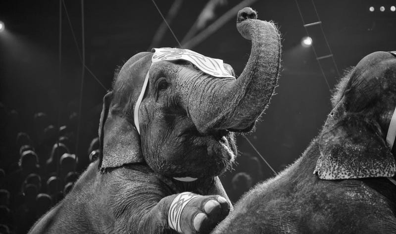 Illustration for article titled Why Freeing Elephant Performers Is Not Nearly Enough