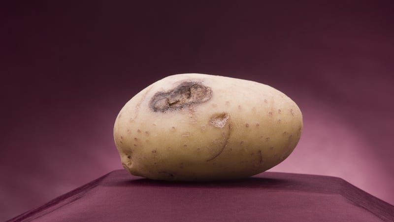 Illustration for article titled Two Injured In Monstrous Drive-By Potato Attack