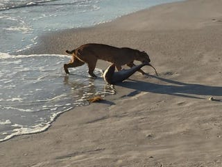 Illustration for article titled An Extraordinary Photo Of A Bobcat Fishing For Sharks