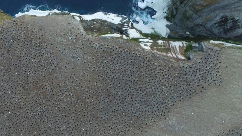 The penguins as seen from an aerial drone.
