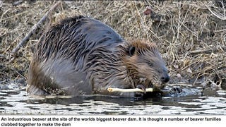Illustration for article titled World's Biggest Beaver Dam Is Visible From Space