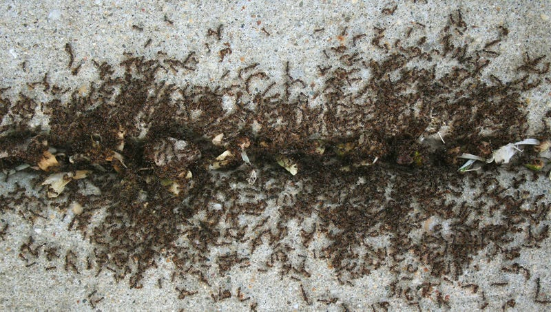 Illustration for article titled Report: Ants Having Some Kind Of Party Inside Crack In Pavement