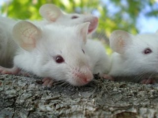 Illustration for article titled Deleting a gene creates super-smart mice...and maybe humans too