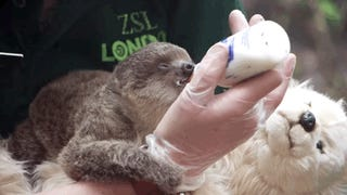 London's New Baby Sloth Is Named After Edward Scissorhands