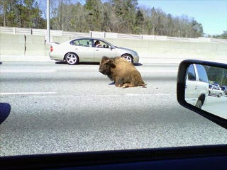Illustration for article titled Yes, That Is A Buffalo In The Middle Of Atlanta's I-20