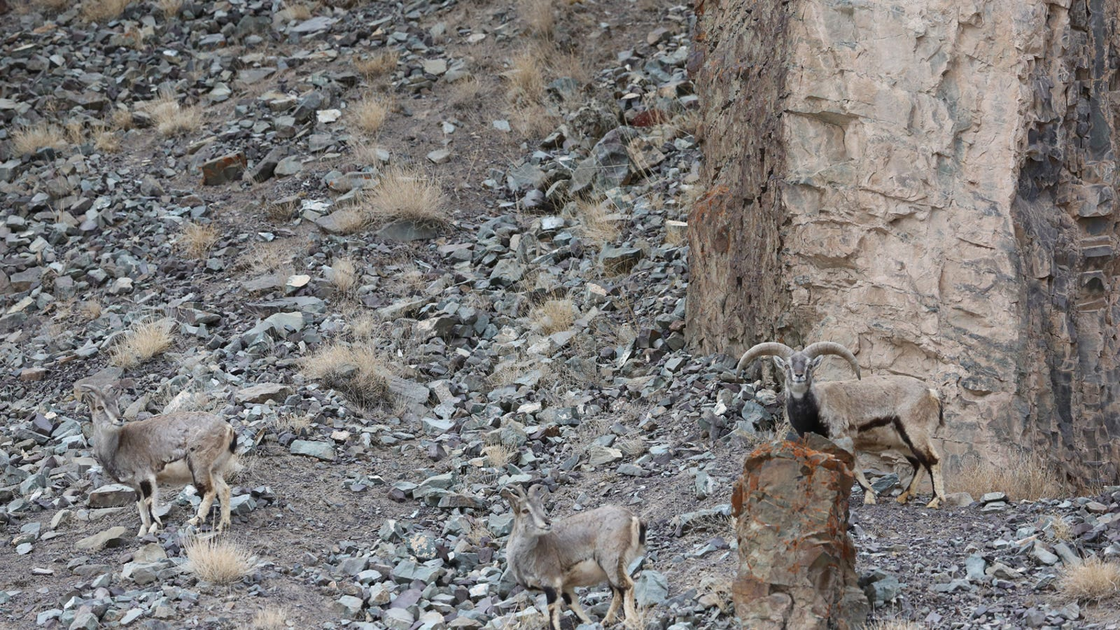 Can You Find The Perfectly Camouflaged Snow Leopard Hidden On This